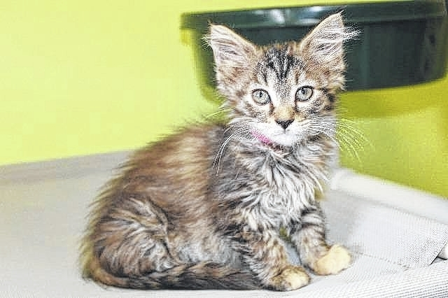 Fushia is a 16-week-old, domestic medium hair female kitten. She is the newest resident at the Fayette Humane Society's Adoption and Business Center. Fushia has been spayed, vaccinated for FVRCPC, de-wormed, flea treated and microchipped. There are many other wonderful cats and kittens needing a new home at the Fayette Humane Society. Kittens are $65 and adults are $40. If you are interested in giving Fushia a new home, stop by the Fayette Humane Society's Adoption and Business Center at 153 S. Main St., Suite 3 in downtown Washington Court House or call 740-335-8126.
