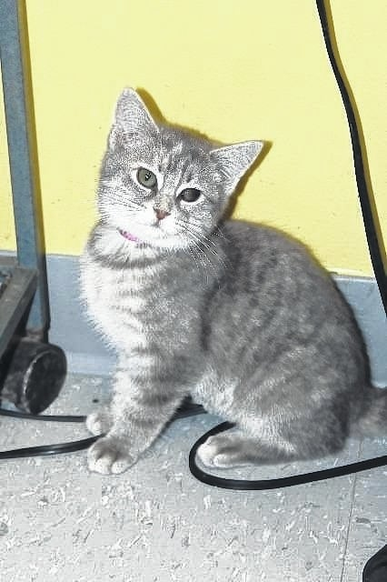 Troya is a female, 15-week-old domestic short hair. She has been a resident at the Fayette Humane Society's Adoption and Business Center since she was very small. Troya has been spayed, vaccinated for FVRCPC, de-wormed, flea treated and microchipped. There are many other wonder cats and kittens needing a new home at the Fayette Humane Society. Kittens are $65 and adults are $40. If you are interested in giving Troya a new home, please stop by the Fayette Humane Society's Adoption and Business Center is at 153 S. Main St., Suite 3 in downtown Washington Court House or call 740-335-8126.