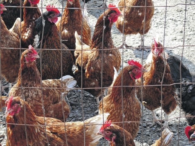 Chickens at a farm in west central Ohio, one of the nation's highest egg producing regions.
