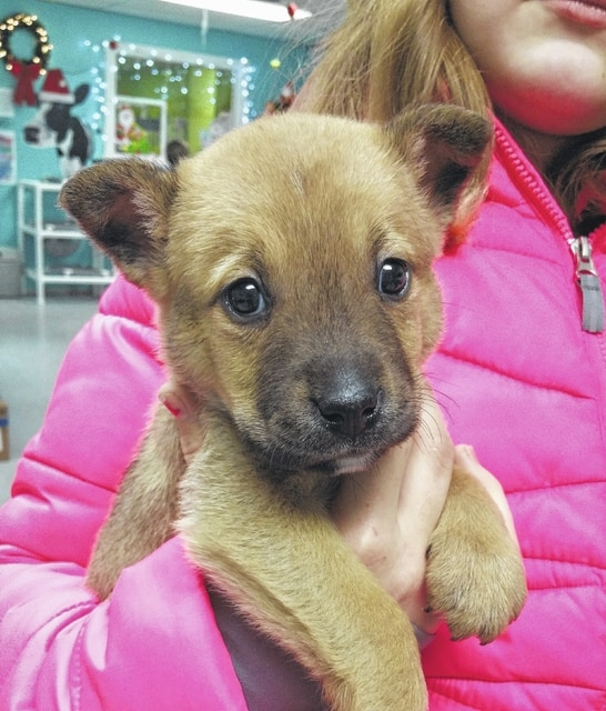Meet Sleigh! He is an 8-week-old male German Shepherd Mix. Sleigh has received his DHPP vaccination and has been wormed, flea treated, neutered, and micro-chipped. There are always animals in shelters needing homes so please consider adopting when you are looking for a new furry friend for life. You may visit the Fayette Humane Society's Adoption and Business Center at 153 S. Main St. in downtown Washington Court House or call 740-335-8126.