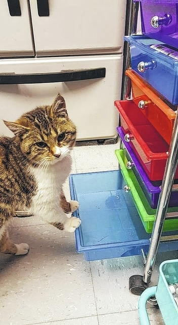 Meet Magnolia! She is a 5-month-old domestic-short-haired kitten. She is super sweet and loves to be held. Magnolia has received her FVRCPC and rabies vaccination, and is wormed, flea treated, spayed and micro-chipped. If you are interested in giving her a new-loving home, please call 740-335-8126. The Fayette Humane Society is also in need of q-tips, scoopable cat litter, dry purina kitten chow and canned food. You may donate these items at their downtown adoption and business center located at 153 S. Main St., Suite 3. Donors may enter in the doors on the East Street side.