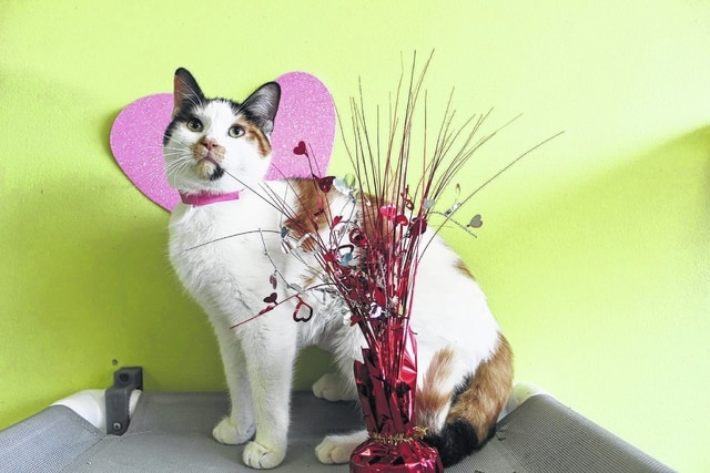 """""""Shayna"""" is one of the cats that will be up for adoption at the """"Adopt Love"""" special adoption event at the Fayette Humane Society."""