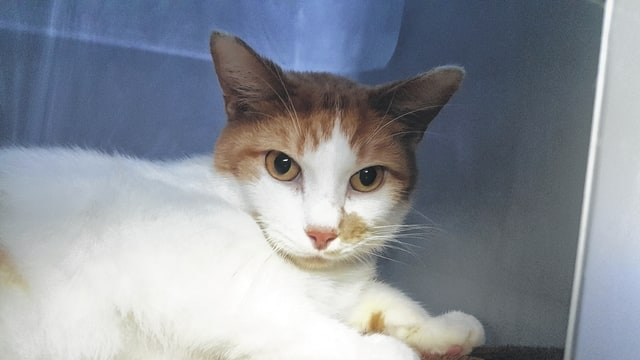 """Meet Mr. Meow. He is a 3-year-old domestic-short-hair cat. Mr. Meow has received his FVRCPC vaccination, rabies vaccination and has been de-wormed, flea treated, neutered and micro-chipped. If interested in giving him a new loving home, call (740) 335-8126. There are several animals in shelters that are waiting for their """"forever home"""" so please consider adopting rather than shopping for your new friend. The Fayette Humane Society is also in need of puppy chow, puppy pads, dog treats, and trash bags. You may donate items at their downtown adoption and business center located at 153 S. Main St., Suite 3. Donors may enter in the doors on the East Street side."""