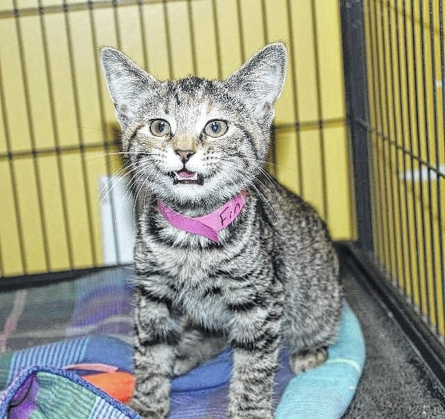 """""""Fin"""" is one of many kittens available for adoption."""