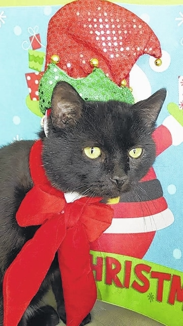 Meet Binx, a 3-year-old domestic, short-haired cat. Animal care staff describes Binx as very friendly and loving. Binx has been neutered, vaccinated for FVRCPC, rabies vaccinated, dewormed, tested negative for FeLV/FIV, flea treated, and micro-chipped. Please consider opening up your heart and home to Binx so that he has a home for the holidays and forever more. If interested, please call 740-335-8126 or visit with him at the Fayette Humane Society's adoption center. The Fayette Humane Society is in desperate need of scoop-able cat litter and patte canned cat food. Any donation would be greatly appreciated. Their downtown adoption center is located on the corner of South Main Street and East Street (use East Street entrance). Please remember that there are thousands of homeless animals in shelters waiting to be adopted. If considering adding a furry friend to the family FHS reminds the community to please adopt, don't shop.