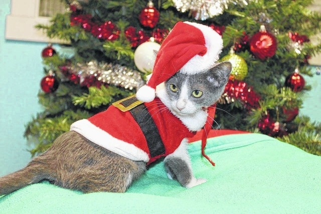 This is one of the many cats that will be available for adoption this Saturday during the Paws and Claws Christmas Celebration and Special Adoption event.