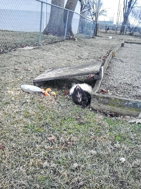 This skunk was causing an issue around the 1000 block of John Street and the corresponding portion of Broadway adjacent. After several neighbors called Fayette County Wildlife Office John Coffman, he was able to capture and euthanize the skunk on Wednesday morning. Coffman offered advice to city residents when dealing with nuisance animals following the incident.