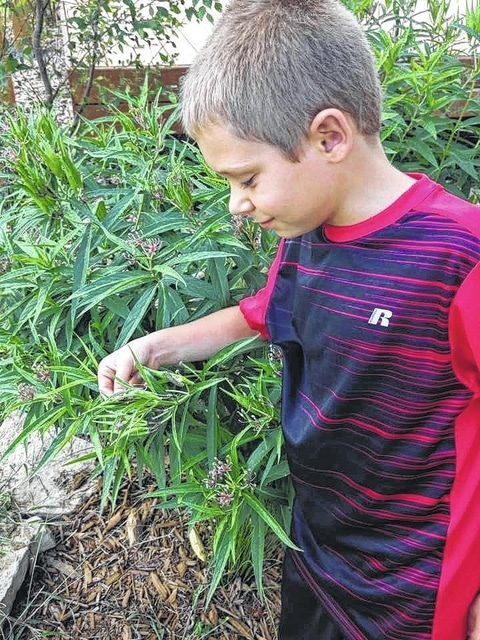 Logan Helfrich counting monarch caterpillars on a swamp milkweed plant.