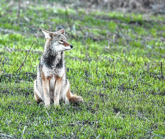 Coyotes are highly adaptable animals that live in a wide variety of environments, thus there is no need to report sightings to wildlife officials unless the animal appears hurt, sick, or habituated (meaning the animal has lost its natural fear of humans).