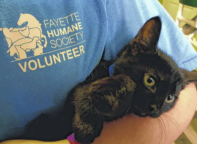 Meet T-Rex! He is a 10-week-old domestic-short-haired kitten. Animal care staff describes T-Rex has a little shy but once he is in your arms becomes calm and loving. He is neutered, vaccinated for PRCC, dewormed, tested negative for FeLV/FIV, flea treated, and micro-chipped. Please consider opening up your heart and home to T-Rex. If you are interested, please call 740-335-8126 or visit with him at the Fayette Humane Society's adoption center. Their downtown adoption center is located on the corner of South Main Street and East Street (use East Street entrance). Please remember that there are thousands of homeless animals in shelters waiting to be adopted. If you consider adding a furry friend to your family, please adopt, don't shop.
