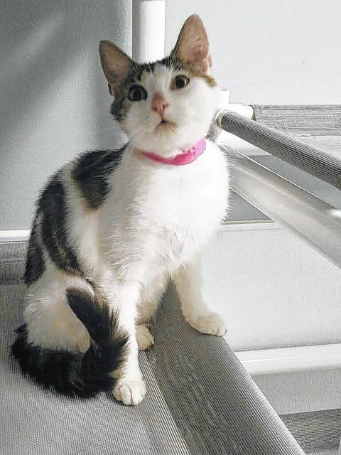 Meet Justice, a 1-year-old, domestic, short-haired cat. Animal care staff describes Justice as very sweet and loves attention. She also seems to love dogs. Justice is spayed, vaccinated for PRCC, rabies vaccinated dewormed, tested negative for FeLV/FIV, flea treated, and micro-chipped. Please consider opening up a heart and home to Justice. If interested, please call 740-335-8126 or visit with her at the Fayette Humane Society's Adoption Center. Their downtown adoption center is located on the corner of South Main Street and East Street (use East Street entrance) in Washington C.H. Please remember that there are thousands of homeless animals in shelters waiting to be adopted. If considering adding a furry friend to the family, please adopt, don't shop.