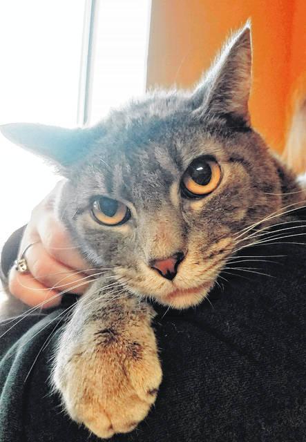 Meet Pepper, the Fayette Humane Society's Pet of the Week! Pepper is a very special cat. As a kitten, he had a defect in his chest and diaphragm. We were unable to completely repair the defect, and this caused him to have some trouble breathing. He went to a loving home for the time he had left. Now Pepper is back with us at 2-years-old (his owners were moving and could not take him), he weighs 12 pounds and breathes normally. Pepper is a loving, sweet boy, and he misses his home and needs someone to love him back. Do you have room in your heart for this miracle boy? Please contact us if you can give Pepper the home he deserves. Reach the Humane Society at 740-335-8126.