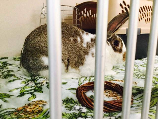 Dozens of rescued house bunnies like this one await adoption in animal shelters throughout the country.