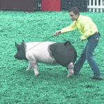 Aiden Knecht competes at NAILE hog show