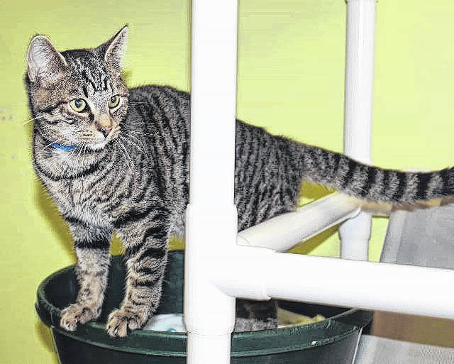 The Fayette Regional Humane Society will hold a Pets for Vets special adoption event this Saturday in honor of Veterans Day. Pictured is Tregus, a 1-year-old domestic-short-haired cat that is seeking his forever home.