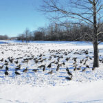 Hundreds of geese flock to Christman Park